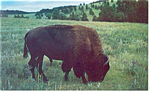 Buffalo At Custer State Park Sd Postcard P8772