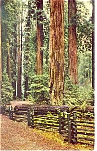 California Redwoods  Postcard p8869 (Image1)