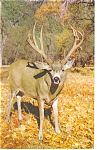 Mule Deer at Yosemite Postcard p8906 (Image1)