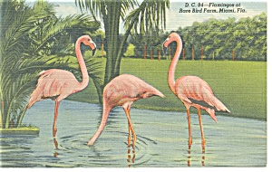 Flamingos at Rare Bird Farm Florida Postcard p9038 (Image1)