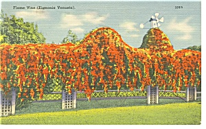 Flame Vine in Florida Linen Postcard (Image1)