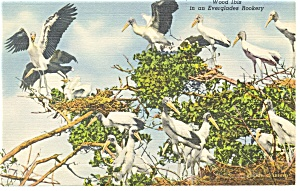 Wood Ibis in The Florida Everglades Linen Postcard p9083 (Image1)