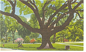 Tampa University FL DeSoto Live Oak Tree Linen Postcard P9098 (Image1)