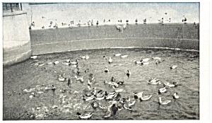 Pymatuning Lake PA Spillway and Ducks Postcard p9402 (Image1)