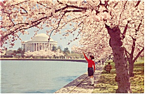 Jefferson Memorial With Cherry Blossoms Washington Dc Postcard P9436