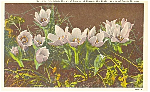 The Anemone State Flower South Dakota Postcard (Image1)
