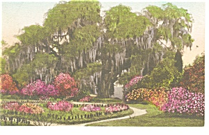 Charleston SC Middleton Place Gardens Hand Colored PC p9945 (Image1)
