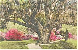 Charleston SC The Great Oak Hand Colored Postcard p9946 (Image1)