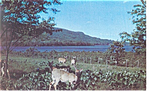 Group of Deer in Wooded Scene Postcard p9961 (Image1)