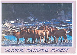 Elk Crossing the Hoh River Postcard w0829 (Image1)