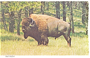 Bull Buffalo Postcard w0830 (Image1)