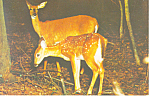 Mother Deer and Fawn  Postcard 1962