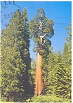 The General Grant Giant Sequoia Kings Canyon National Park Postcard cs0010