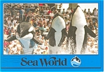 Click here to enlarge image and see more about item cs0126: Orcas at Sea World, FL Postcard