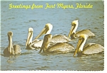 Pelicans in Fort Myers, FL Postcard