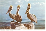 Pelicans in Tropical Florida Postcard