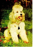 Click here to enlarge image and see more about item cs0242: Small Poodle Postcard cs0242