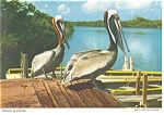 Pelicans in Florida Postcard