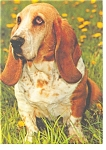 Click here to enlarge image and see more about item cs0253: Basset Hound  Postcard