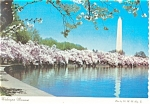 Washington Monument and Cherry Blossoms Postcard