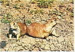 Click here to enlarge image and see more about item cs0443: Prairie Dogs Postcard cs0443