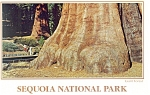 Click here to enlarge image and see more about item cs0511: Sequoia National Park,CA Giant Forest Postcard