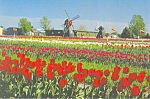 Holland, MI Tulip Farm Postcard