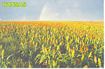 Click here to enlarge image and see more about item cs0980: Kansas Field of Milo Postcard cs0980