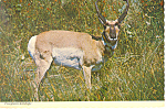 Pronghorn Antelope Postcard cs1023 1975
