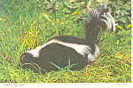 Click here to enlarge image and see more about item cs1026: Skunk Pardon My Scent Postcard