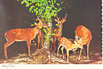Click here to enlarge image and see more about item cs1028: Whitetail Deer Midnight Snack Postcard