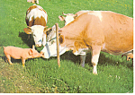Click here to enlarge image and see more about item cs1030: Cattle and Pig Fence Meeting German Postcard cs1030 1996