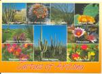 Click here to enlarge image and see more about item cs11204: Cactus of Arizona postcard cs11204