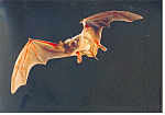Click here to enlarge image and see more about item cs1301: Mexican Bat, Carlsbad Caverns, NM Postcard