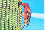 Gila Woodpecker  Postcard