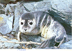Click here to enlarge image and see more about item cs1478: Harbor Seal Pup Postcard cs1478