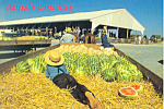 Amish Produce Going to Market Postcard cs1560