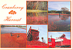 Cranberry Harvest Cape Cod MA Postcard cs1629