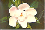 Click here to enlarge image and see more about item cs1680: Mississippi State Flower Magnolia Postcard cs1680