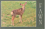 Spotted Fawn Postcard cs1744 1987