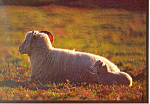 Click here to enlarge image and see more about item cs1785: Springtime Sheep Postcard cs1785