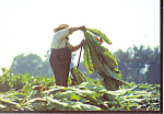 Amish Farmr Spearing Tobacco Postcard cs1805