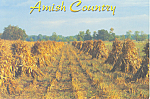 Amish Corn Shocks Postcard cs1813