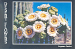 Click here to enlarge image and see more about item cs1991: Saguaro Cactus Flowers State Flower Arizona Postcard cs1991