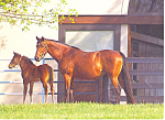 Gainesborough Farm Kentucky Thoroughbreds Postcard cs2010