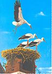 Nesting Storks, Austria Postcard