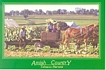 Amish Tobacco Harvest, PA, Postcard cs2191