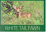 White Tail Fawn Postcard cs2262