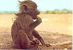 Click here to enlarge image and see more about item cs2290A: An appealing baby Baboon Postcard