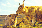 Click here to enlarge image and see more about item cs2311: Highland Cow and Calf, Scotland  Postcard